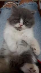 Vendo filhote de gato persa