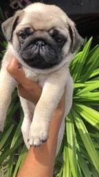 Título do anúncio: Pug filhote porte pequeno  com pedigree e microchip