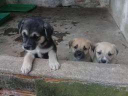 Filhotes de Labrador (1 mês)