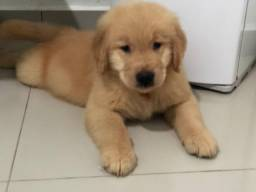 Golden Retriever c/pedigree e chip Macho -Golden City Kennel