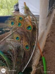 Vendo penas de pavão