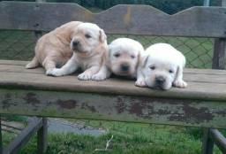 Labrador Retriever (27)997274395