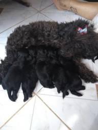 Filhotes de Poodle com Yorkshire