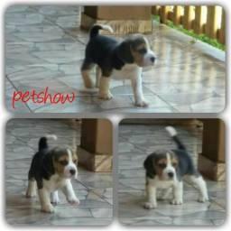 Beagle Tricolor Machinho parcelado 6x sem juros