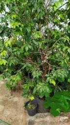 Pé de jabuticaba, pintanga,café, produzindo