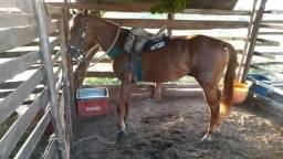 Cavalo de vaqueja quarto de milha puro com documento
