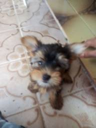 Filhote yiokshaire terrier