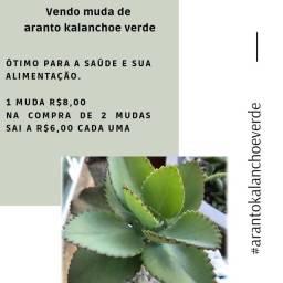 Vendo muda de aranto kalanchoe verde