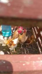 Vendo casal de galinhas caipiras
