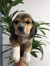 Beagle com garantia de saúde em contrato.