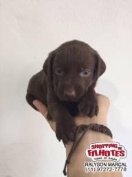 Labrador filhotes legítimos, com vacina importada, cores chocolate/preto/amarelo