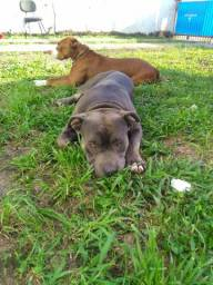 Filhote de Pit Bull puro. ( pit bull, pit monsters , blue nouse, red nouse ).