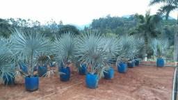Mudas de palmeira Azul lindas