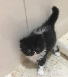 Maravilhoso filhote de gato persa