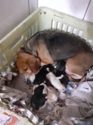 Linda ninhada de beagle 12 polegadas,(mini),nascidos em 1 de novembro