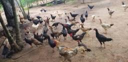 Venda galinha caipira 35 reais
