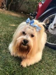 Cachorra Lhasa apso