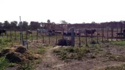 Venda fazenda de produção de silagem e engorda de boi
