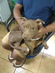 Filhote de Pitbull APBT fêmea 3 meses