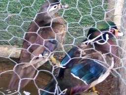 Casal de Patos Carolina