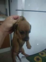 Cão linguicinha mini