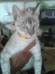 Gato macho Siamês