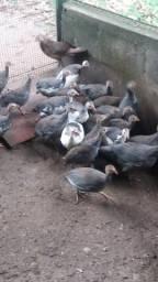 Vendo galinhas Angola jovens