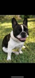 Bulldog francês Femea co pedigree