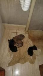 Vendo 2 filhotes de Pinscher machos número 1