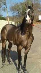 Cavalo paint horse e éguas a venda