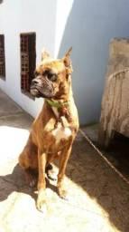 Cachorro boxer alemão
