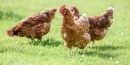 3 galinhas por 20 reais