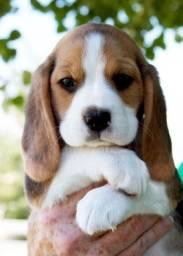 Beagle  fêmea e macho lindos filhotes