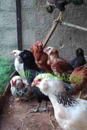 Ovos azuis /verdes  de galinha Barbudas Ameraucanas
