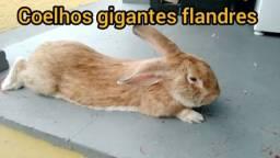 Coelho gigante de flandres puro pra vender