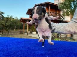 Filhote Bull Terrier Macho