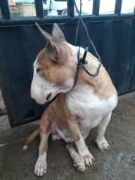 Bull terrier busca namorada