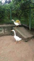 Vendo gansos sinaleiros jovens