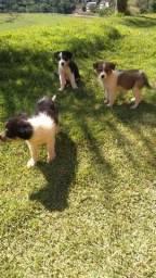 Cão mais inteligente do mundo-Border Collie Canil Canaã (27)997274395