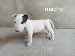 Bull Terrier filhote cachorro