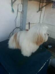 Procuro uma linda namorada lhasa-apso.