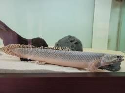 Título do anúncio: Polypterus ornatipinnis