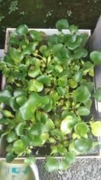 Planta aquática Aguapé