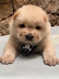 Chow Chow - Seu melhor amigo está ansioso para ir para casa.