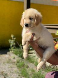 Golden Retriever Filhotes Pedigree