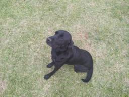 Labradora fêmea para doação