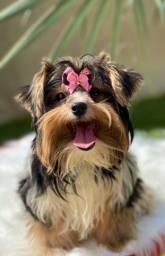 Biewer yorkshire terrier fêmea 6 meses