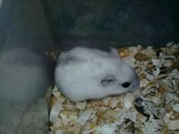 Hamster Pérola