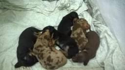 Teckel Disponíveis filhotes de dachshund