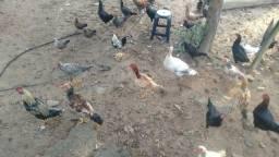 Vendo frangos machos